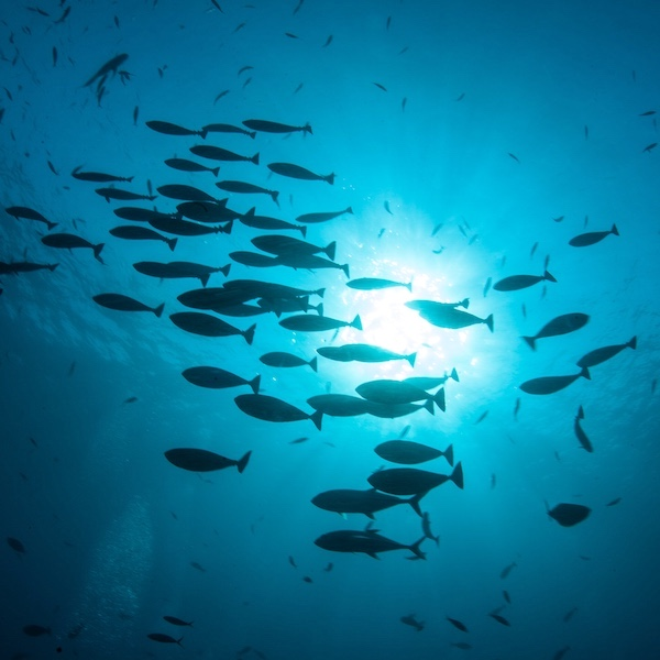 School of fish swimming in deep ocean