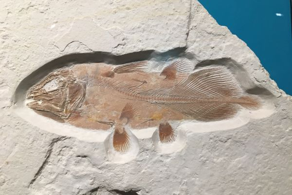 an example of what a complete fish fossil coelacanth looks like